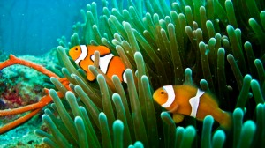 anemone-clownfish-red