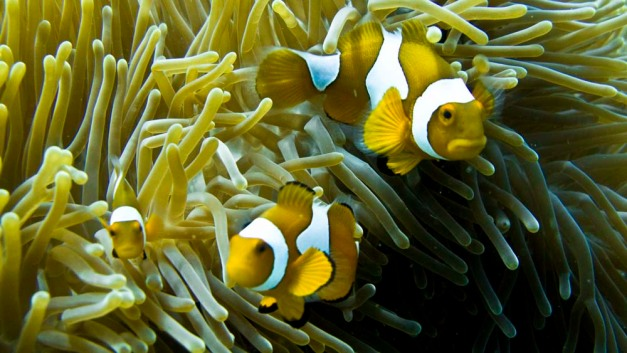anemonefish-natural-light
