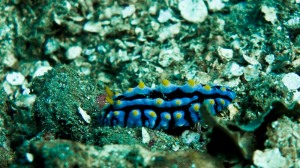 blue-yellow-nudi