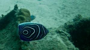 juvenile-emporer-angelfish