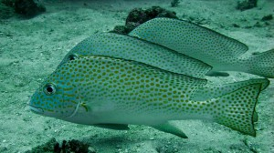 juvenile-silver-sweetlips-resting