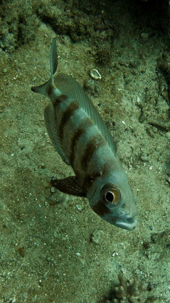 stripey-fish