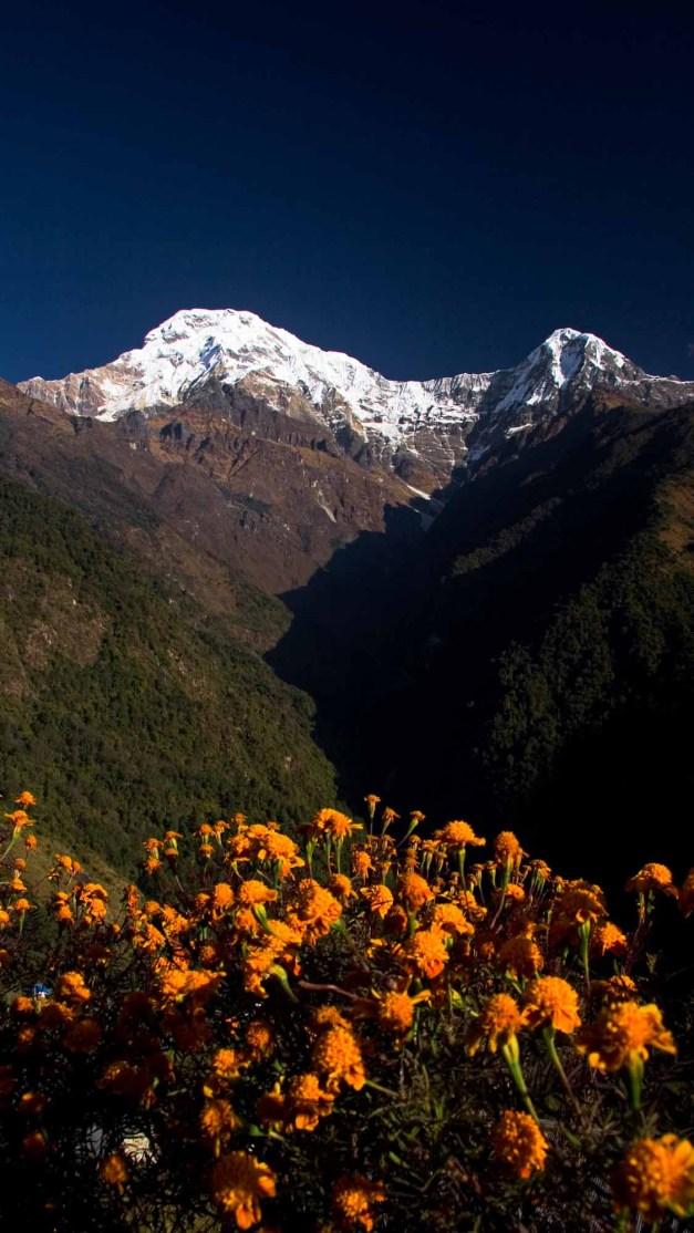 Annapurna South Flowers Portrait Chomrong